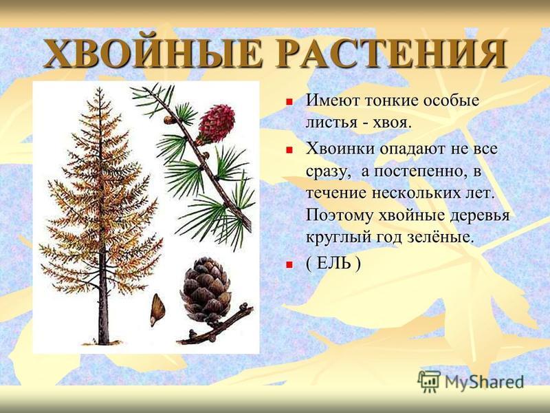 ХВОЙНЫЕ РАСТЕНИЯ Имеют тонкие особые листья - хвоя. Имеют тонкие особые листья - хвоя. Хвоинки опадают не все сразу, а постепенно, в течение нескольких лет. Поэтому хвойные деревья круглый год зелёные. Хвоинки опадают не все сразу, а постепенно, в те