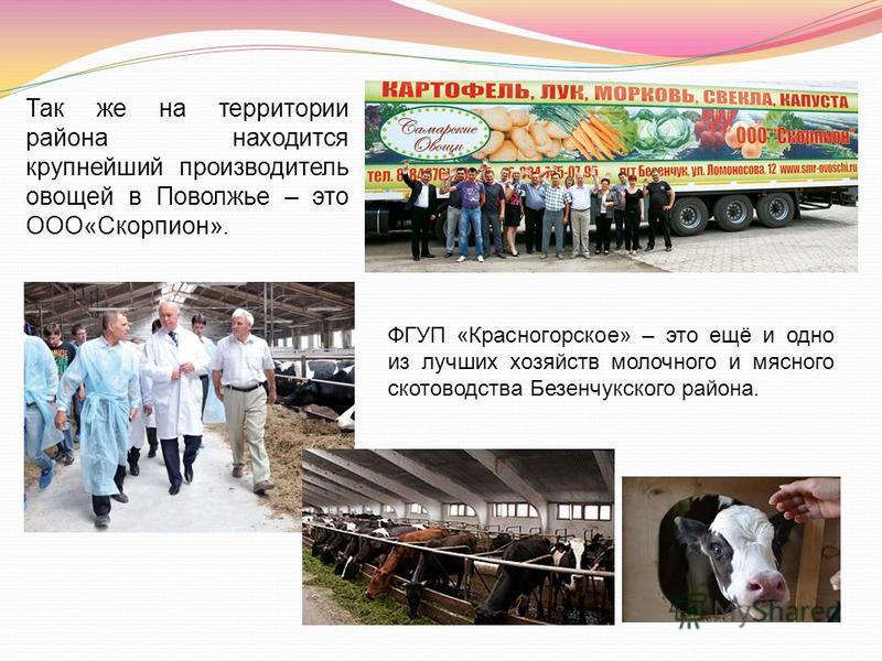 Так же на территории района находится крупнейший производитель овощей в Поволжье – это ООО«Скорпион». ФГУП «Красногорское» – это ещё и одно из лучших хозяйств молочного и мясного скотоводства Безенчукского района.