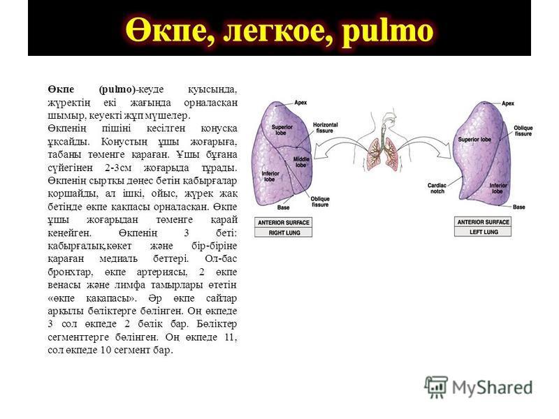 Өкпе (pulmo)- Өкпе (pulmo)-кеуде қуысында, жүректің екі жағында орналасқан шымыр, кеуекті жұп мүшелер. Өкпенің пішіні кесілген конусқа ұқсайды. Конустың ұшы жоғарыға, табаны төменге қараған. Ұшы бұғана сүйегінен 2-3см жоғарыда тұрады. Өкпенің сыртқы