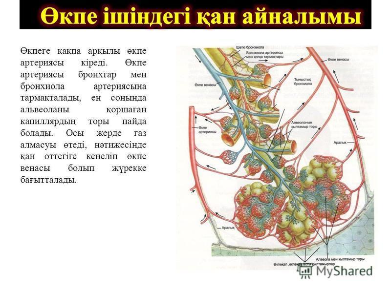 Өкпеге қақпа арқылы өкпе артериясы кіреді. Өкпе артериясы бронхтар мен бронхиола артериясына тармақталады, ең соңында альвеоланы қоршаған капиллярдың торы пайда болады. Осы жерде газ алмасуы өтеді, нәтижесінде қан оттегіге кенеліп өкпе венасы болып ж