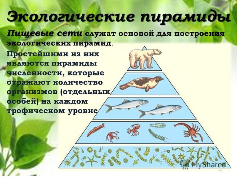 27 Экологические пирамиды Пищевые сети Пищевые сети служат основой для построения экологических пирамид. Простейшими из них являются пирамиды численности, которые отражают количество организмов (отдельных особей) на каждом трофическом уровне