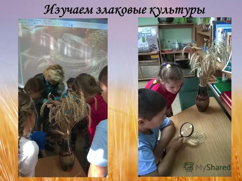 Изучаем злаковые культуры