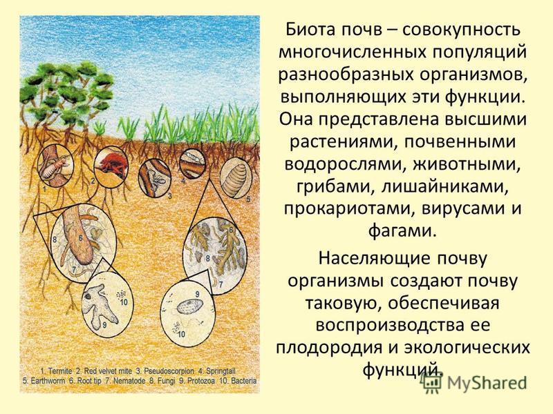 Биота почв – совокупность многочисленных популяций разнообразных организмов, выполняющих эти функции. Она представлена высшими растениями, почвенными водорослями, животными, грибами, лишайниками, прокариотами, вирусами и фагами. Населяющие почву орга