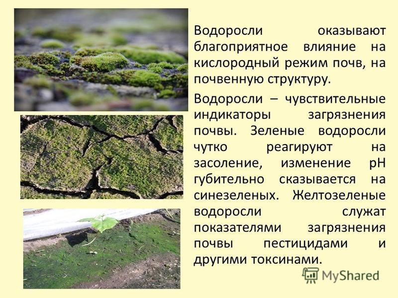 Водоросли оказывают благоприятное влияние на кислородный режим почв, на почвенную структуру. Водоросли – чувствительные индикаторы загрязнения почвы. Зеленые водоросли чутко реагируют на засоление, изменение рН губительно сказывается на сине-зеленых.