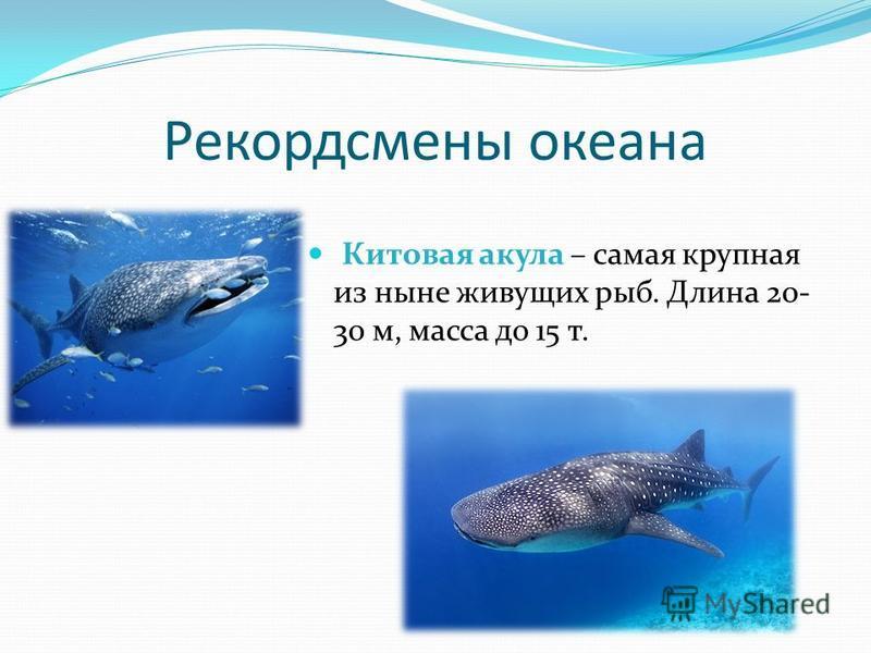 Рекордсмены океана Китовая акула – самая крупная из ныне живущих рыб. Длина 20- 30 м, масса до 15 т.