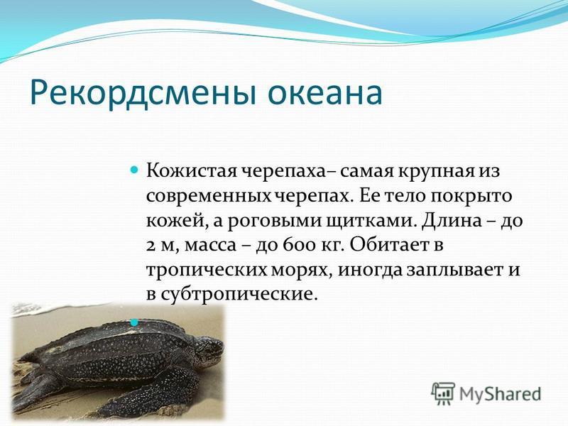 Рекордсмены океана Кожистая черепаха– самая крупная из современных черепах. Ее тело покрыто кожей, а роговыми щитками. Длина – до 2 м, масса – до 600 кг. Обитает в тропических морях, иногда заплывает и в субтропические.