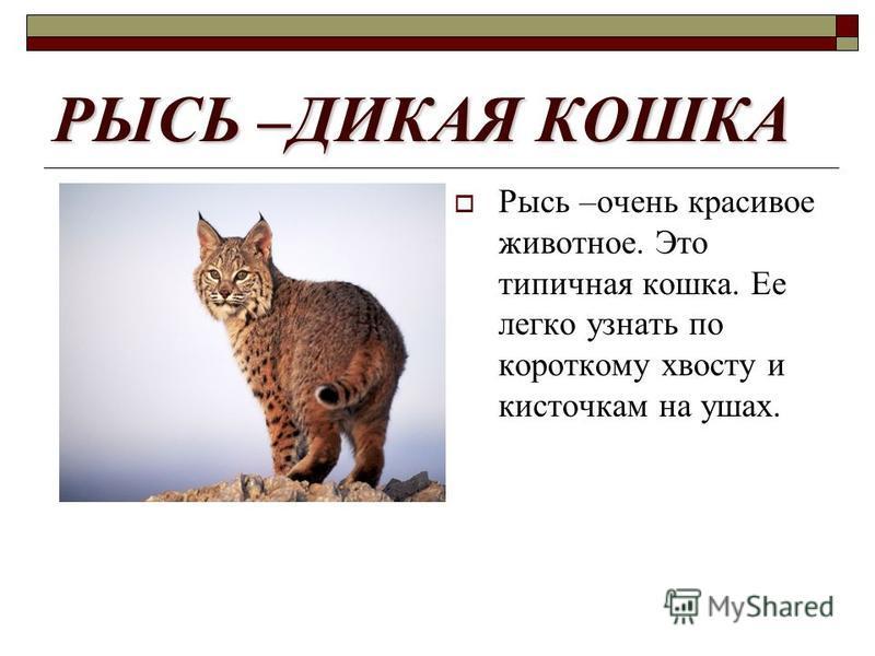 РЫСЬ –ДИКАЯ КОШКА Рысь –очень красивое животное. Это типичная кошка. Ее легко узнать по короткому хвосту и кисточкам на ушах.