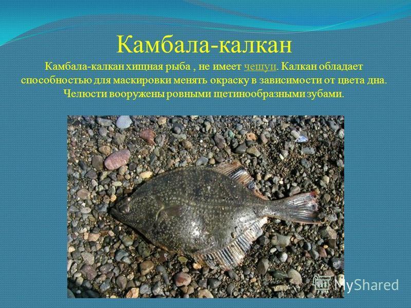 Камбала-калкан Камбала-калкан хищная рыба, не имеет чешуи. Калкан обладает способностью для маскировки менять окраску в зависимости от цвета дна. Челюсти вооружены ровными щетинообразными зубами.чешуи
