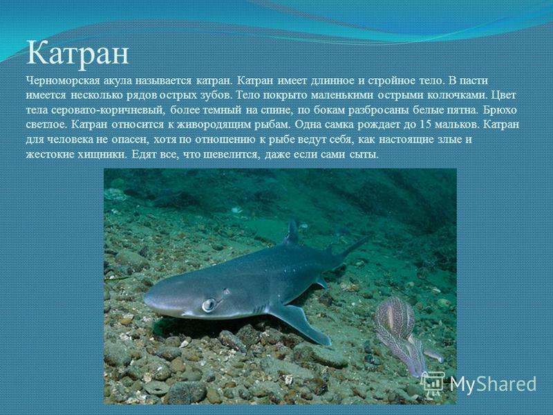 Катран Черноморская акула называется катран. Катран имеет длинное и стройное тело. В пасти имеется несколько рядов острых зубов. Тело покрыто маленькими острыми колючками. Цвет тела серовато-коричневый, более темный на спине, по бокам разбросаны белы