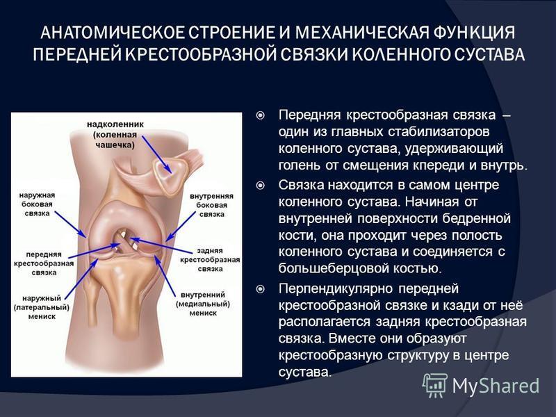 АНАТОМИЧЕСКОЕ СТРОЕНИЕ И МЕХАНИЧЕСКАЯ ФУНКЦИЯ ПЕРЕДНЕЙ КРЕСТООБРАЗНОЙ СВЯЗКИ КОЛЕННОГО СУСТАВА Передняя крестообразная связка – один из главных стабилизаторов коленного сустава, удерживающий голень от смещения кпереди и внутрь. Связка находится в сам