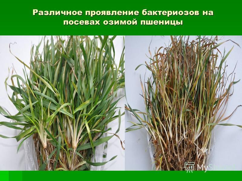 Различное проявление бактериозов на посевах озимой пшеницы Бактериозы проростки Бактериозы проростки