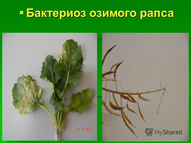 Бактериоз озимого рапса Бактериоз озимого рапса