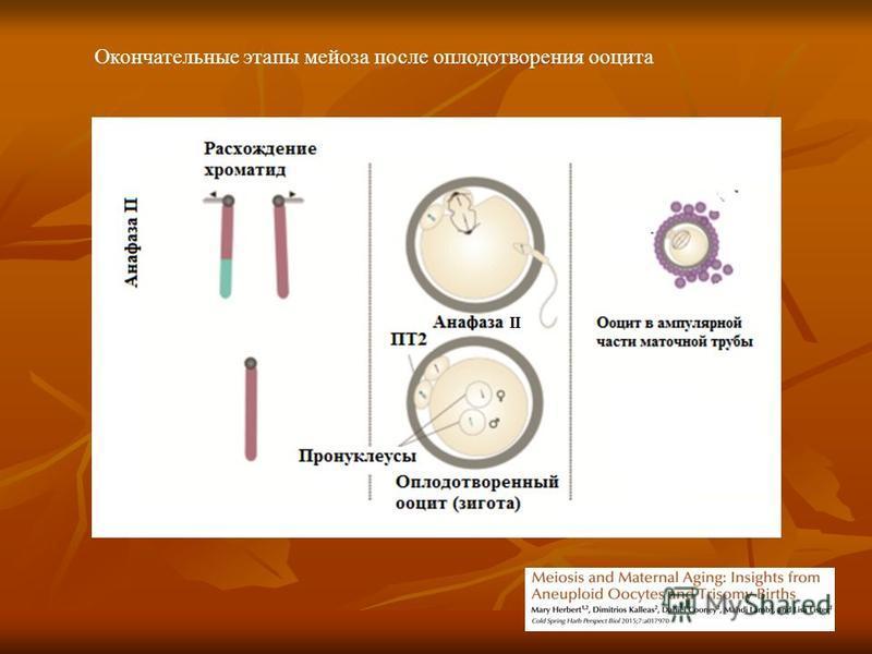 Окончательные этапы мейоза после оплодотворения ооцита