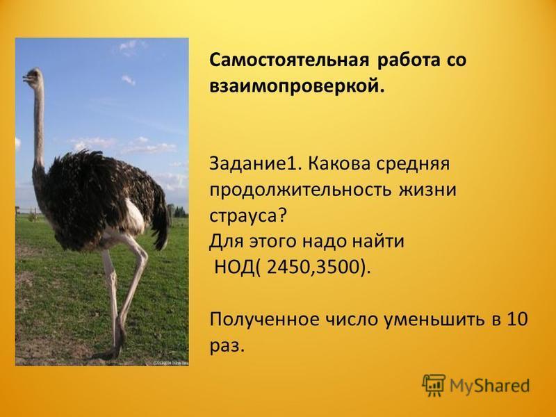 Самостоятельная работа со взаимопроверкой. Задание 1. Какова средняя продолжительность жизни страуса? Для этого надо найти НОД( 2450,3500). Полученное число уменьшить в 10 раз.