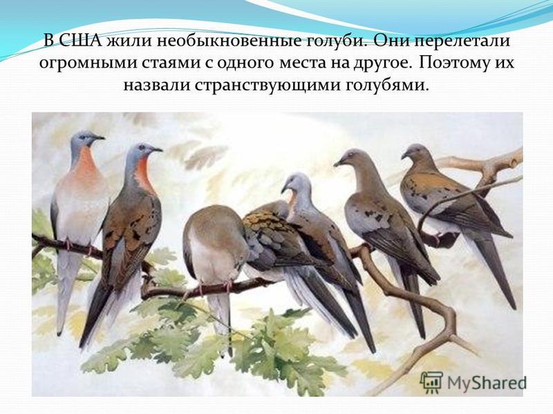 В США жили необыкновенные голуби. Они перелетали огромными стаями с одного места на другое. Поэтому их назвали странствующими голубями.