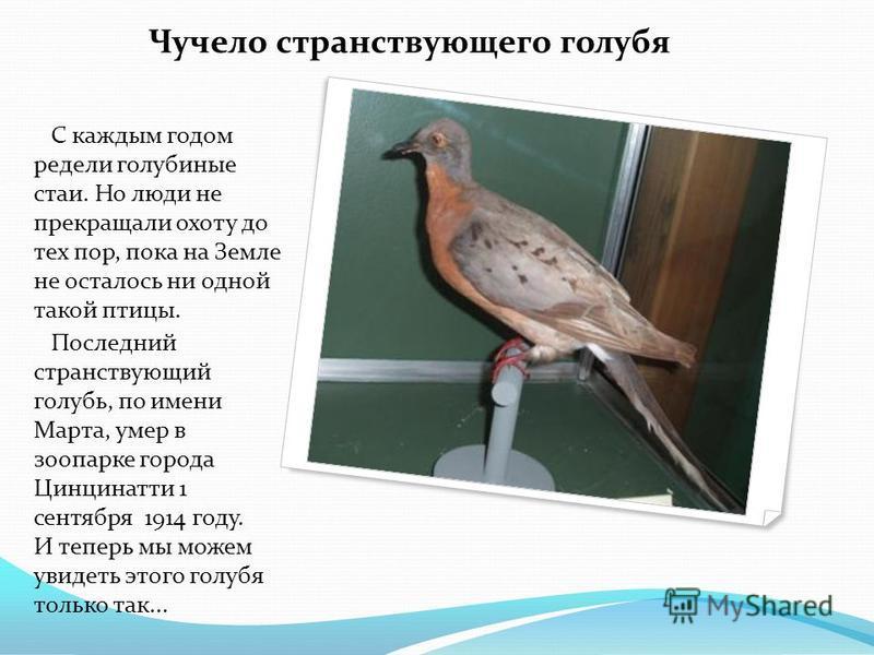Чучело странствующего голубя С каждым годом редели голубиные стаи. Но люди не прекращали охоту до тех пор, пока на Земле не осталось ни одной такой птицы. Последний странствующий голубь, по имени Марта, умер в зоопарке города Цинцинатти 1 сентября 19