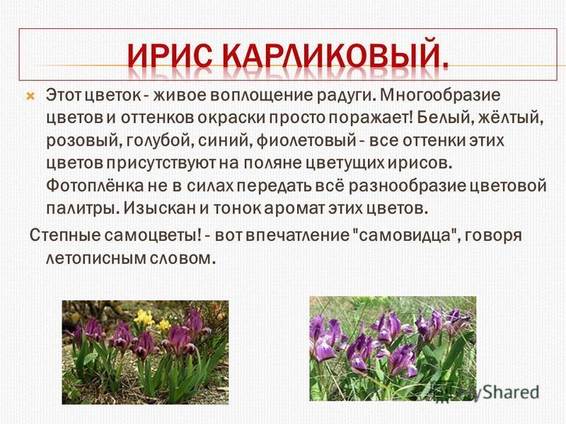Этот цветок - живое воплощение радуги. Многообразие цветов и оттенков окраски просто поражает! Белый, жёлтый, розовый, голубой, синий, фиолетовый - все оттенки этих цветов присутствуют на поляне цветущих ирисов. Фотоплёнка не в силах передать всё раз