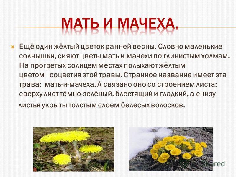 Ещё один жёлтый цветок ранней весны. Словно маленькие солнышки, сияют цветы мать и мачехи по глинистым холмам. На прогретых солнцем местах полыхают жёлтым цветом соцветия этой травы. Странное название имеет эта трава: мать-и-мачеха. А связано оно со