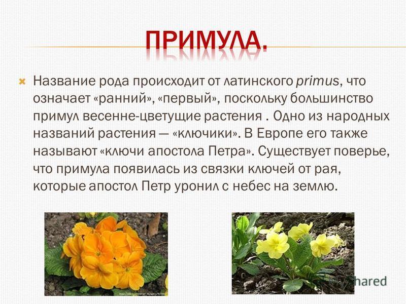 Название рода происходит от латинского primus, что означает «ранний», «первый», поскольку большинство примул весенне-цветущие растения. Одно из народных названий растения «ключики». В Европе его также называют «ключи апостола Петра». Существует повер