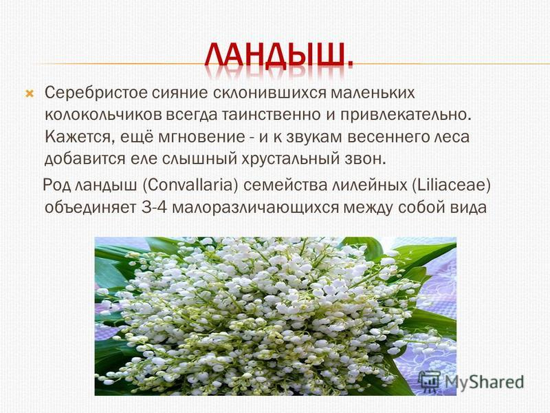Серебристое сияние склонившихся маленьких колокольчиков всегда таинственно и привлекательно. Кажется, ещё мгновение - и к звукам весеннего леса добавится еле слышный хрустальный звон. Род ландыш (Convallaria) семейства лилейных (Liliaceae) объединяет