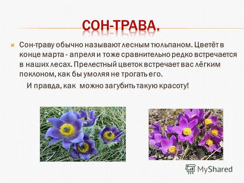 Сон-траву обычно называют лесным тюльпаном. Цветёт в конце марта - апреля и тоже сравнительно редко встречается в наших лесах. Прелестный цветок встречает вас лёгким поклоном, как бы умоляя не трогать его. И правда, как можно загубить такую красоту!