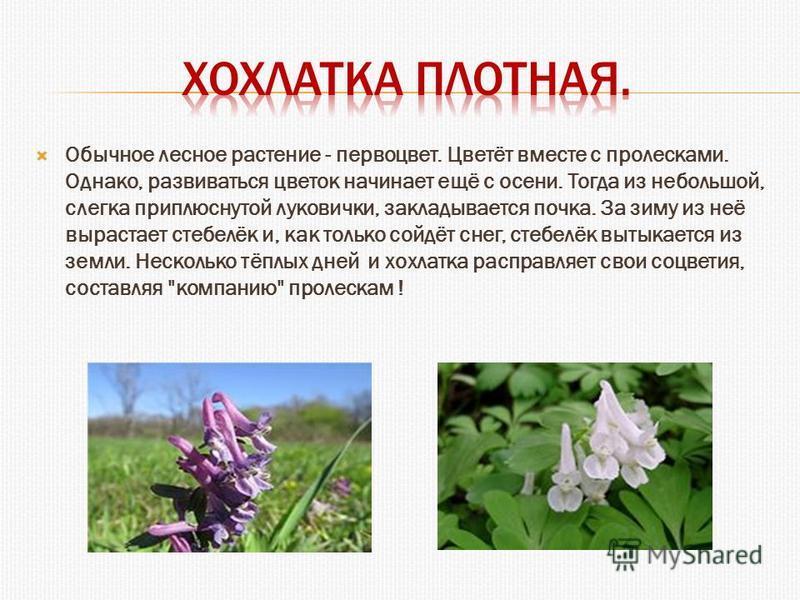 Обычное лесное растение - первоцвет. Цветёт вместе с пролесками. Однако, развиваться цветок начинает ещё с осени. Тогда из небольшой, слегка приплюснутой луковички, закладывается почка. За зиму из неё вырастает стебелёк и, как только сойдёт снег, сте