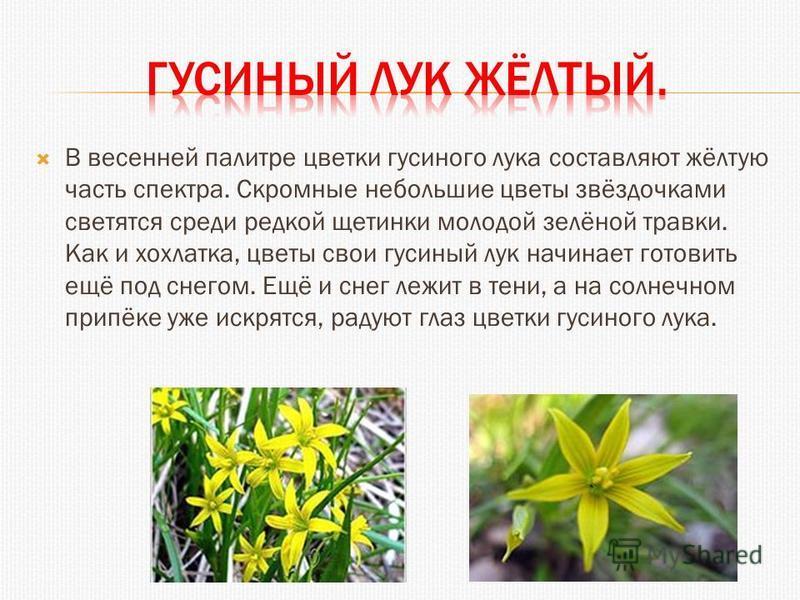 В весенней палитре цветки гусиного лука составляют жёлтую часть спектра. Скромные небольшие цветы звёздочками светятся среди редкой щетинки молодой зелёной травки. Как и хохлатка, цветы свои гусиный лук начинает готовить ещё под снегом. Ещё и снег ле
