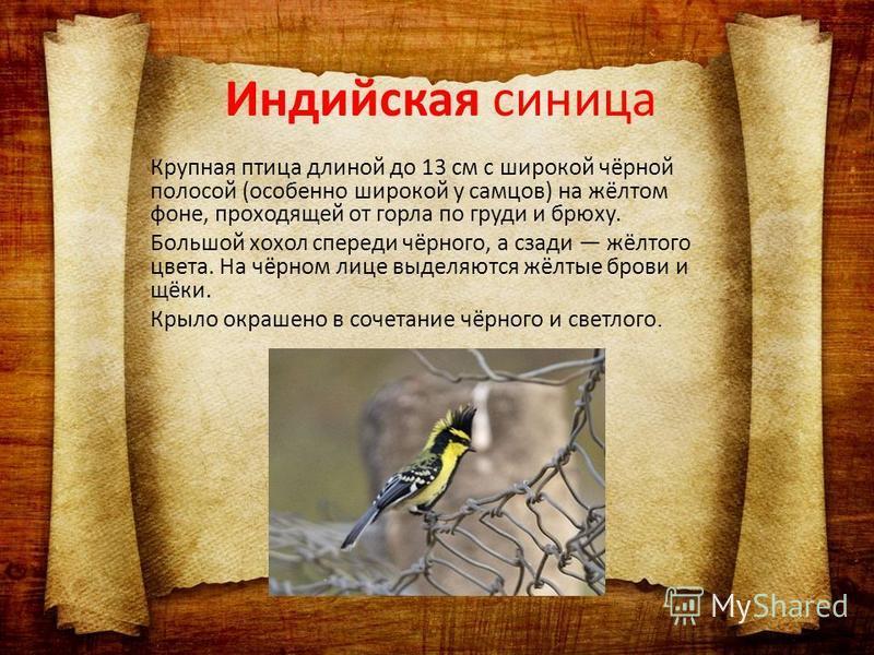 Крупная птица длиной до 13 см с широкой чёрной полосой (особенно широкой у самцов) на жёлтом фоне, проходящей от горла по груди и брюху. Большой хохол спереди чёрного, а сзади жёлтого цвета. На чёрном лице выделяются жёлтые брови и щёки. Крыло окраше