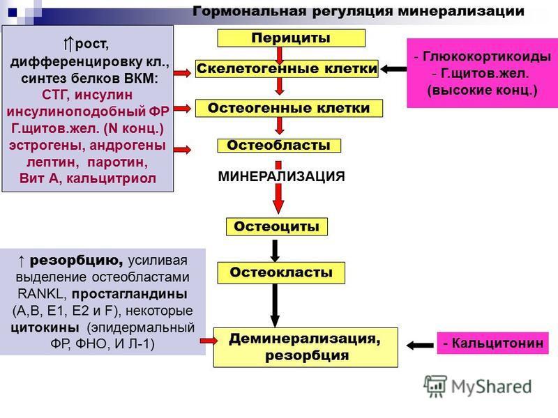 - Глюкокортикоиды - Г.щитов.жел. (высокие конц.) Перициты Скелетогенные клетки Остеогенные клетки Остеобласты Остеоциты МИНЕРАЛИЗАЦИЯ Остеокласты Деминерализация, резорбция рост, дифференцировку кл., синтез белков ВКМ: СТГ, инсулин инсулиноподобный Ф