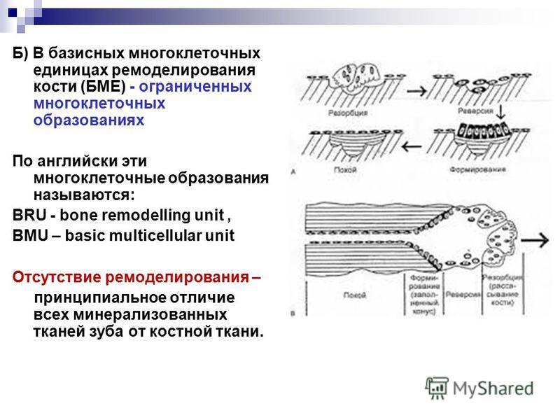 Б) В базисных многоклеточных единицах моделирования кости (БМЕ) - ограниченных многоклеточных образованиях По английски эти многоклеточные образования называются: BRU - bone remodelling unit, BMU – basic multicellular unit Отсутствие моделирования –
