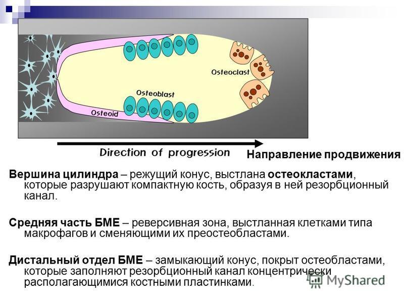 Направление продвижения Вершина цилиндра – режущий конус, выстлана остеокластами, которые разрушают компактную кость, образуя в ней резорбционный канал. Средняя часть БМЕ – реверсивная зона, выстланная клетками типа макрофагов и сменяющими их преосте