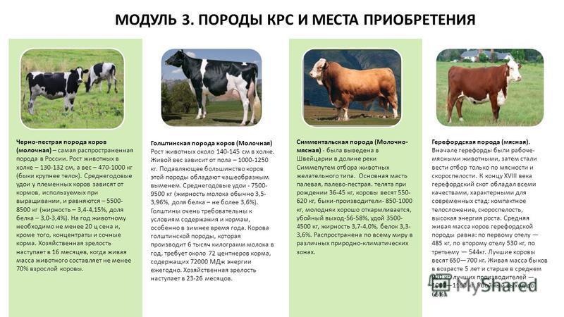 МОДУЛЬ 3. ПОРОДЫ КРС И МЕСТА ПРИОБРЕТЕНИЯ Черно-пестрая порода коров (молочная) – самая распространенная порода в России. Рост животных в холке – 130-132 см, а вес – 470-1000 кг (быки крупнее телок). Среднегодовые удои у племенных коров зависят от ко