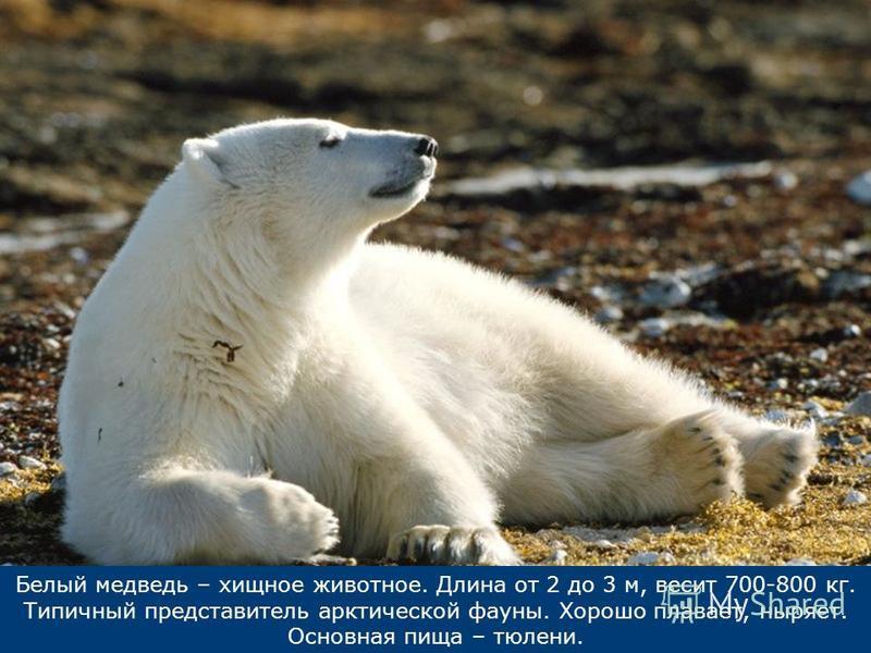 Белый медведь – хищное животное. Длина от 2 до 3 м, весит 700-800 кг. Типичный представитель арктической фауны. Хорошо плавает, ныряет. Основная пища – тюлени.