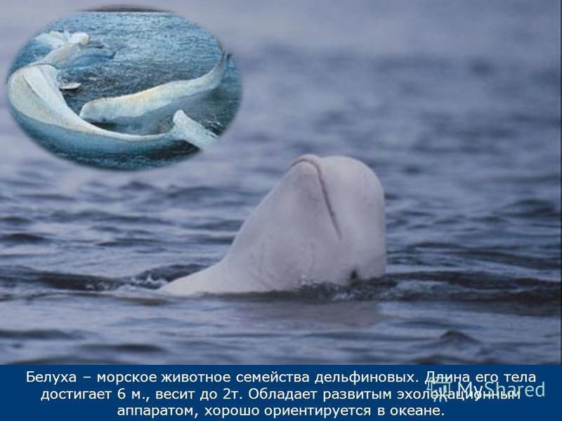 Белуха – морское животное семейства дельфиновых. Длина его тела достигает 6 м., весит до 2 т. Обладает развитым эхолокационным аппаратом, хорошо ориентируется в океане.