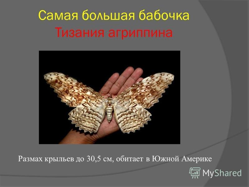 Самая большая бабочка Тизания агриппина Размах крыльев до 30,5 см, обитает в Южной Америке