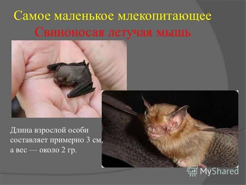 Самое маленькое млекопитающее Свиноносая летучая мышь Длина взрослой особи составляет примерно 3 см, а вес около 2 гр.
