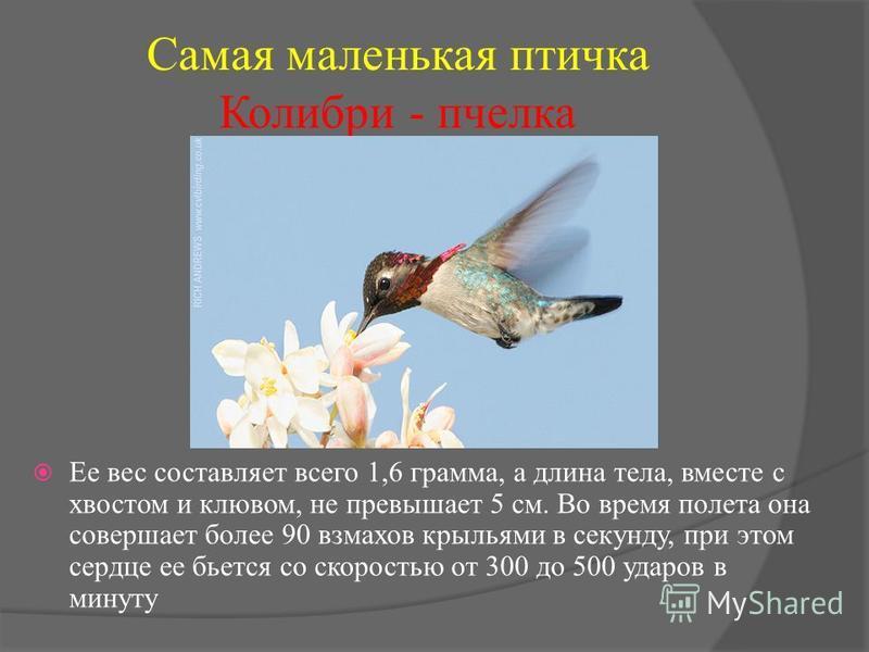 Самая маленькая птичка Колибри - пчелка Ее вес составляет всего 1,6 грамма, а длина тела, вместе с хвостом и клювом, не превышает 5 см. Во время полета она совершает более 90 взмахов крыльями в секунду, при этом сердце ее бьется со скоростью от 300 д