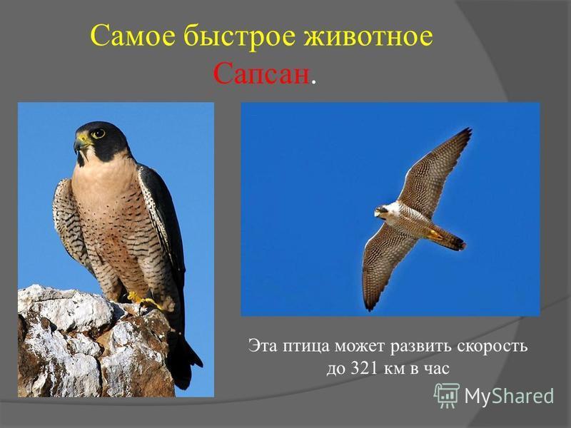 Самое быстрое животное Сапсан. Эта птица может развить скорость до 321 км в час