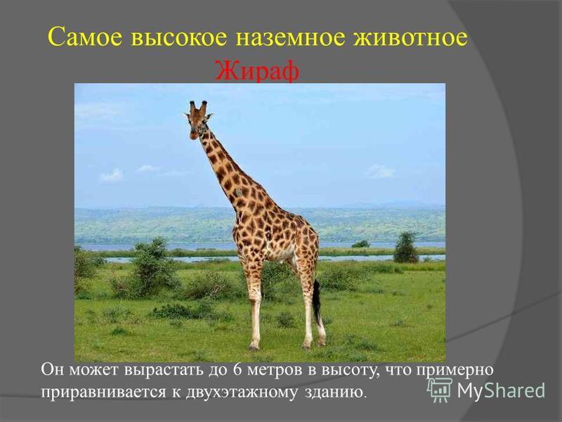 Самое высокое наземное животное Жираф Он может вырастать до 6 метров в высоту, что примерно приравнивается к двухэтажному зданию.