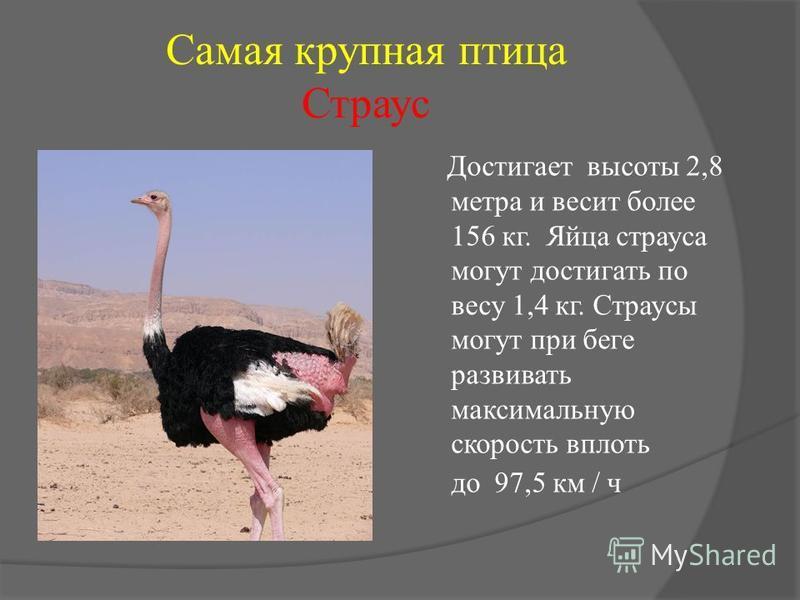 Самая крупная птица Страус Достигает высоты 2,8 метра и весит более 156 кг. Яйца страуса могут достигать по весу 1,4 кг. Страусы могут при беге развивать максимальную скорость вплоть до 97,5 км / ч