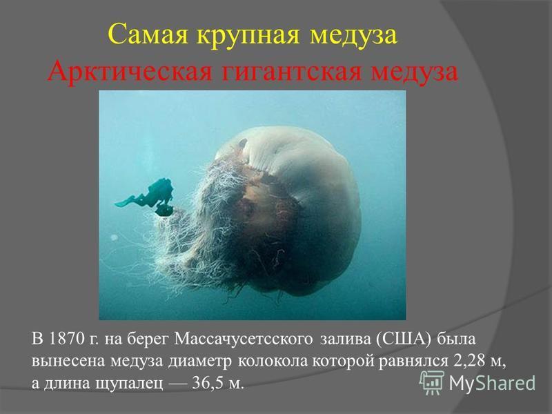 Самая крупная медуза Арктическая гигантская медуза В 1870 г. на берег Массачусетсского залива (США) была вынесена медуза диаметр колокола которой равнялся 2,28 м, а длина щупалец 36,5 м.