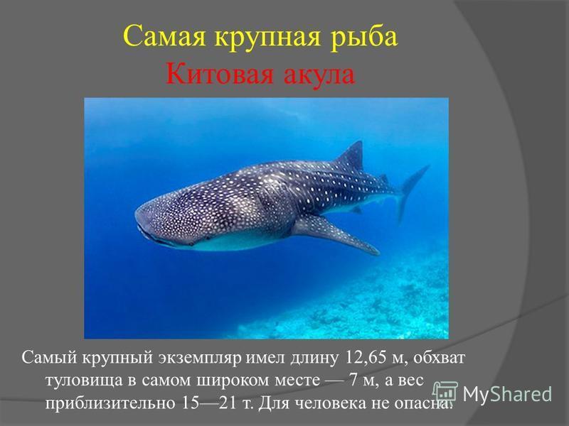 Самая крупная рыба Китовая акула Самый крупный экземпляр имел длину 12,65 м, обхват туловища в самом широком месте 7 м, а вес приблизительно 1521 т. Для человека не опасна.