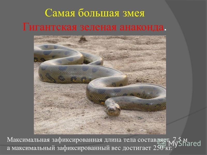 Самая большая змея Гигантская зеленая анаконда. Максимальная зафиксированная длина тела составляет 7,5 м а максимальный зафиксированный вес достигает 250 кг.