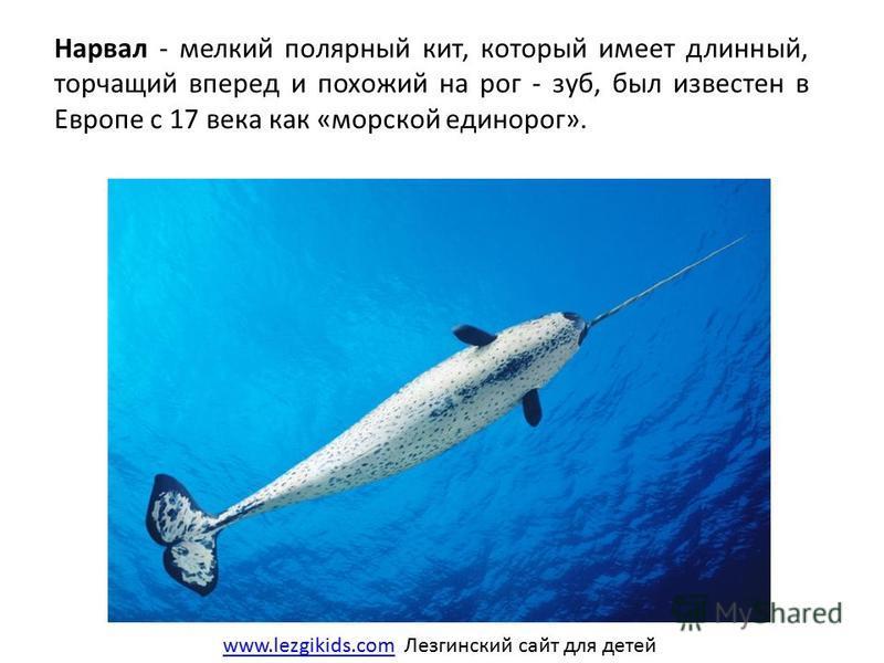 Нарвал - мелкий полярный кит, который имеет длинный, торчащий вперед и похожий на рог - зуб, был известен в Европе с 17 века как «морской единорог». www.lezgikids.comwww.lezgikids.com Лезгинский сайт для детей