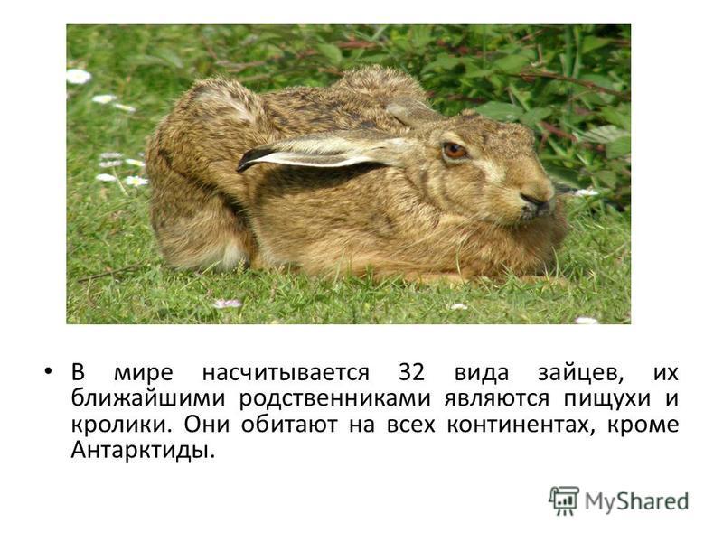 В мире насчитывается 32 вида зайцев, их ближайшими родственниками являются пищухи и кролики. Они обитают на всех континентах, кроме Антарктиды.