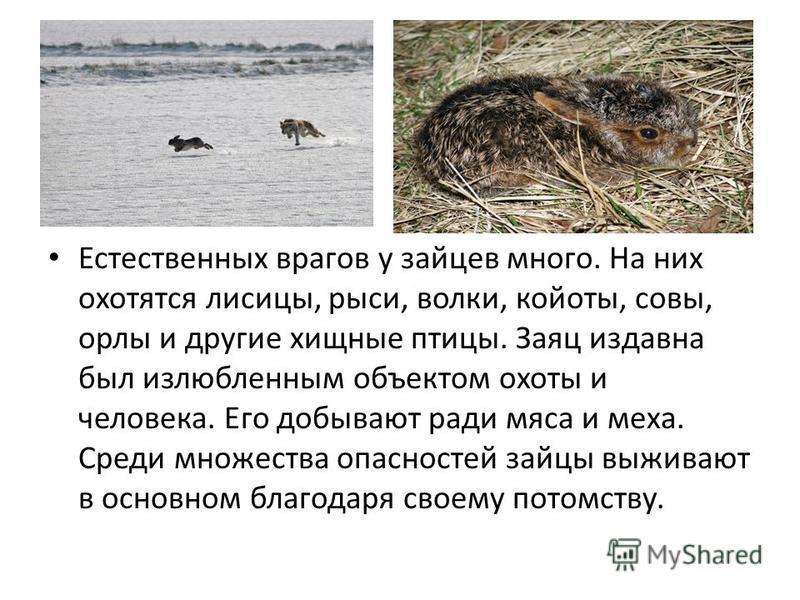 Естественных врагов у зайцев много. На них охотятся лисицы, рыси, волки, койоты, совы, орлы и другие хищные птицы. Заяц издавна был излюбленным объектом охоты и человека. Его добывают ради мяса и меха. Среди множества опасностей зайцы выживают в осно