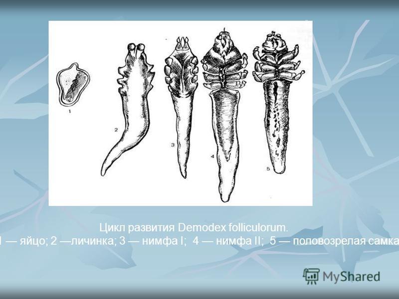 Цикл развития Demodex folliculorum. 1 яйцо; 2 личинка; 3 нимфа I; 4 нимфа II; 5 половозрелая самка.