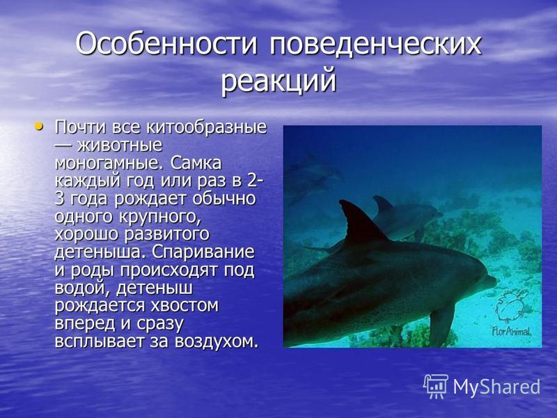Особенности поведенческих реакций Почти все китообразные животные моногамные. Самка каждый год или раз в 2- 3 года рождает обычно одного крупного, хорошо развитого детеныша. Спаривание и роды происходят под водой, детеныш рождается хвостом вперед и с