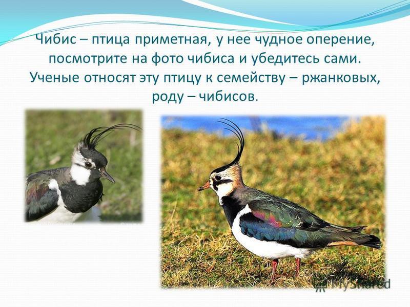 Чибис – птица приметная, у нее чудное оперение, посмотрите на фото чибиса и убедитесь сами. Ученые относят эту птицу к семейству – ржанковых, роду – чибисов.