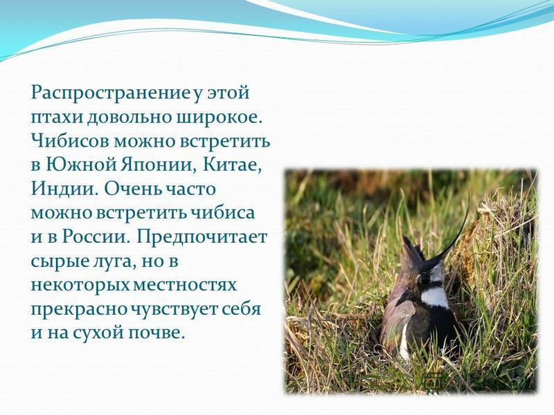 Распространение у этой птахи довольно широкое. Чибисов можно встретить в Южной Японии, Китае, Индии. Очень часто можно встретить чибиса и в России. Предпочитает сырые луга, но в некоторых местностях прекрасно чувствует себя и на сухой почве.